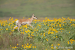 Pronghorn doe with a yellow ear tag walking in a field of Arrowleaf Balsamroot wildflowers