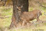 Mule Deer doe standing by tree