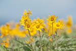 Arrowleaf Balsamroot wildflowers 
