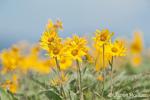 Arrowleaf Balsamroot wildflowers