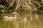 Mother and Baby Wood Wood Ducks swimming
