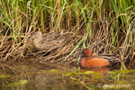 Nesting pair of Cinnamon Teal ducks, one in and one out of the water