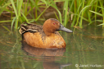 Male Cinnamon Teal duck swimming in a small river