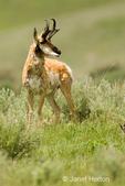 Male shaggy Pronghorn or American Antelope on the lookout