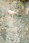 Mountain Goat climbing down a rocky hill