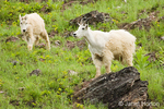 Mountain Goats standing on grassy slope