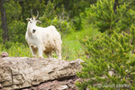 Mountain Goat standing on rock