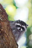 Wild mother raccoon growling in a tree, protecting her young, in a rural residential area