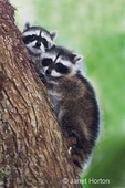 Two juvenile raccoons climbing down a tree at their mother's calling in a rural residential area