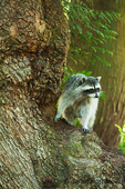 Wild raccoon in a tree in a rural residential area