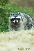 Common Raccoon walking in field
