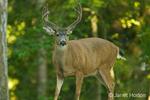 Mule Deer buck standing near forest