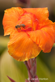 Canna flower in the backyard