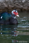 Wild Muscovy duck swimming in a lake