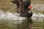 Wild Muscovy Duck flapping its wings and splashing as it takes off from a lake