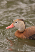 Black-bellied Whistling duck swimming