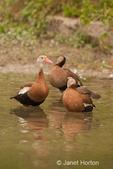 Three Black-bellied Whistling ducks preening