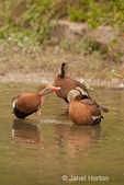 Three Black-bellied Whistling ducks preening and scratching