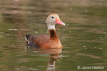 Black-bellied Whistling duck with pond grass hanging off its beak after eating