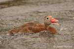 Black-bellied Whistling duck swimming with an open beak quacking 