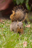Eastern Fox squirrel in a backyard