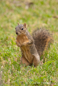 Eastern Fox squirrel standing up looking inquisitive in a backyard