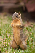 Eastern Fox squirrel standing up looking very confident, in a backyard