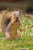 Eastern Fox squirrel eating a nut in a backyard