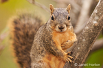 Eastern Fox squirrel in a tree with one paw up