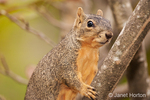 Eastern Fox squirrel in a tree