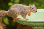 Eastern Fox squirrel with one paw up, on a birdbath in a backyard