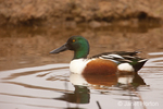 Male Northern Shoveler swimming