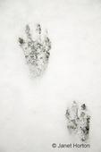 Raccoon tracks in the snow in my backyard