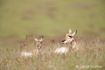Two Mule Deer does resting in the grass