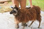 Woman, Cynthia, positioning an Icelandic sheep for shearing.