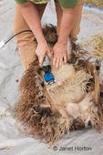 Woman, Cynthia, shearing an Icelandic sheep's underside.
