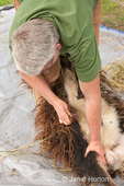 Woman pulling out tags of wool from an Icelandic sheep.