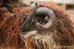 Icelandic sheep eating hay.