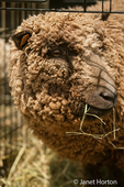 Babydoll Southdown or Southdown Babydoll Sheep in traveling cage eating hay