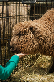 Girl petting a Babydoll Southdown or Southdown Babydoll Sheep in a traveling cage