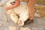 Woman, Cynthia, shearing an Icelandic sheep using scizzors.  