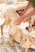 Woman, Cynthia, shearing an Icelandic sheep using scizzors.