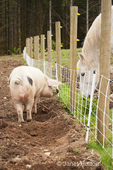 """Gloucestershire Old Spots pig """"talking"""" to a horse on the other side of the fence in the pasture, as if to ask """"Is the grass is really greener on the other side of the fence?"""""""