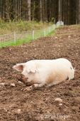 Gloucestershire Old Spots pig with a dirty face in a pig pen