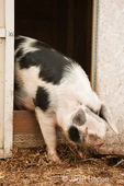 Lactating sow climbing out of a building which has her piglets in it