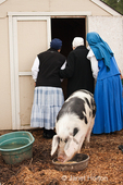 Backside of nuns looking into building at piglets while the Gloucester Old Spot sow eats