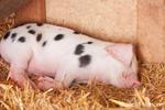 Piglet sleeping inside a shed