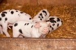 Gloucester Old Spot piglets inside a shed, with one looking very cute and proud