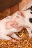 Gloucestershire Old Spot piglets, with one leaning on another, inside a shed