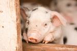Gloucester Old Spot piglet portrait as it leans on a board